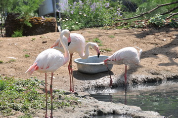 Flamants roses et flamants rouges - Zoo De Vincennes